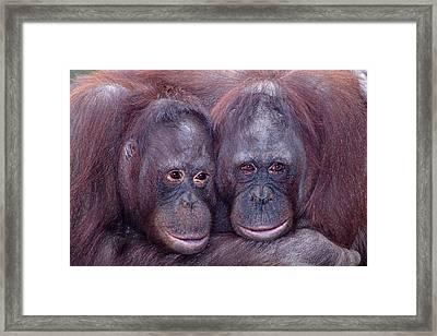 Pair Of Orangutans Framed Print by Robert Jensen