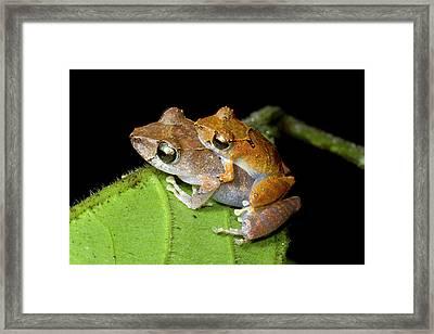 Pair Of Rain Frogs In Amplexus Framed Print by Dr Morley Read