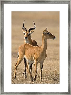 Pair Of Ugandan Kobs Kobus Kob Thomasi Framed Print by Panoramic Images