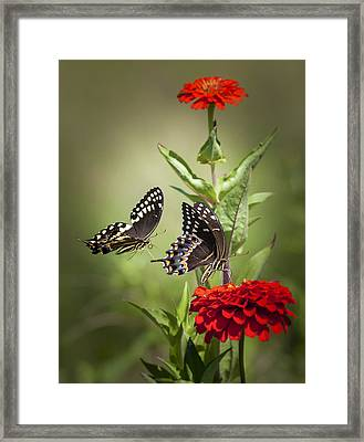 Palamedes Swallowtail Butterflies Framed Print by Jo Ann Tomaselli