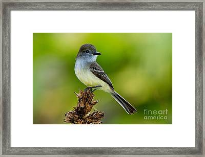 Pale-edged Flycatcher Framed Print by Anthony Mercieca
