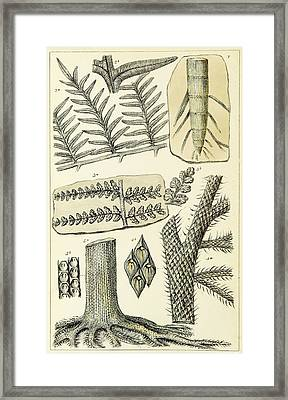 Framed Print featuring the photograph Paleozoic Flora, Calamites, Illustration by British Library