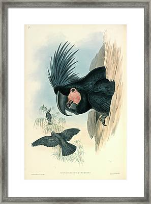 Palm Cockatoo Framed Print by Natural History Museum, London