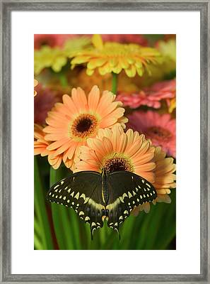 Palmates Swallowtail Butterfly Framed Print by Darrell Gulin