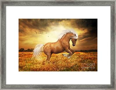 Palomino Horse Sundance  Framed Print by Shanina Conway