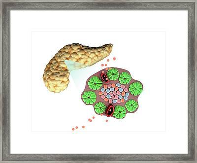 Pancreas Anatomy Framed Print by Gunilla Elam