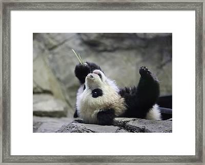 Panda Cub Framed Print by Jack Nevitt