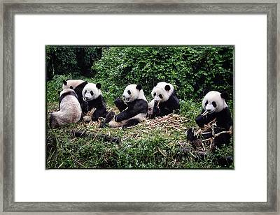 Pandas In China Framed Print by Joan Carroll