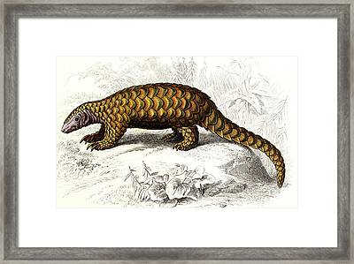 Pangolin Framed Print by Collection Abecasis