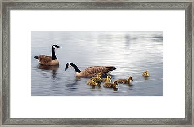Panoramic Goose Family Outing Framed Print by Lisa Knechtel