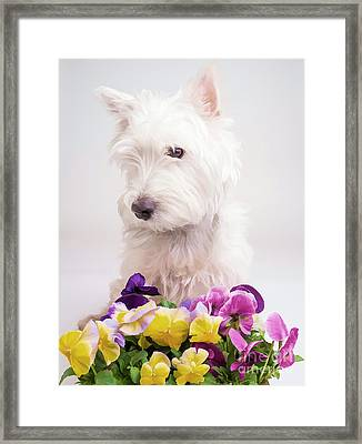Pansies Framed Print by Edward Fielding