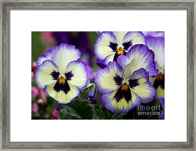 Pansy Faces Framed Print by Theresa Willingham