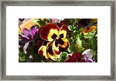 Pansy Time Framed Print by Julie Koretz