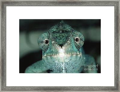 Panther Chameleon Framed Print by Gregory G. Dimijian