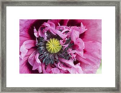 Papaver Somniferum Pink  Framed Print by Tim Gainey