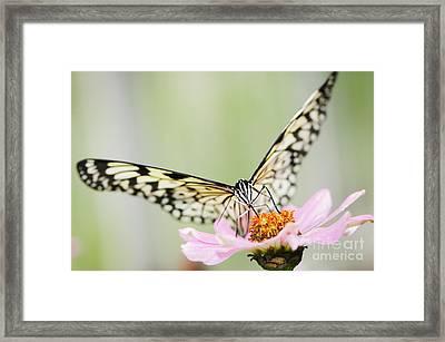 Paper Kite Butterfly On Zinnia Framed Print by Oscar Gutierrez