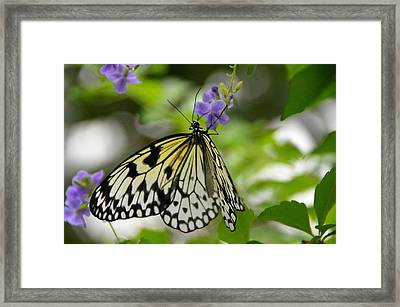 Paper Kite  Idea Leuconoe 2 Framed Print by David Earl Johnson