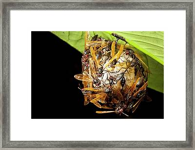 Paper Wasps On Nest Framed Print by Alex Hyde