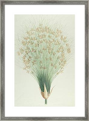 Papyrus Framed Print by James Bruce