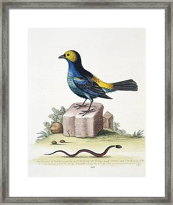Paradise Tanager, 18th Century Framed Print by Science Photo Library