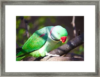 Parakeet 2 Framed Print by Jeff Tuten