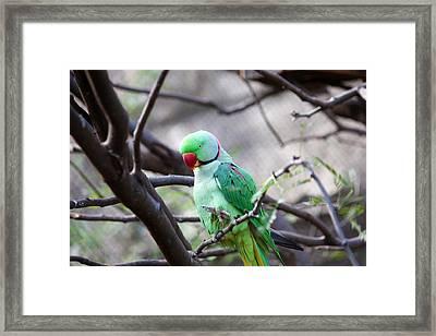Parakeet Framed Print by Jeff Tuten