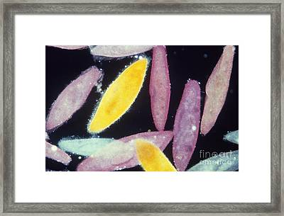 Paramecium Framed Print by Gary Retherford