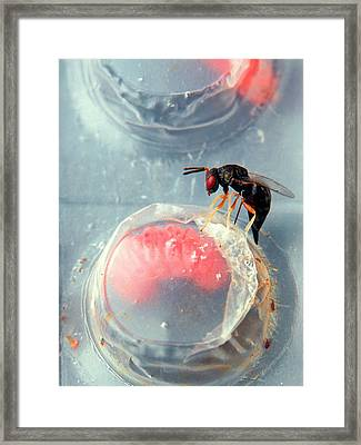 Parasitic Wasp On Boll Weevil Larva Framed Print by Scott Bauer/us Department Of Agriculture