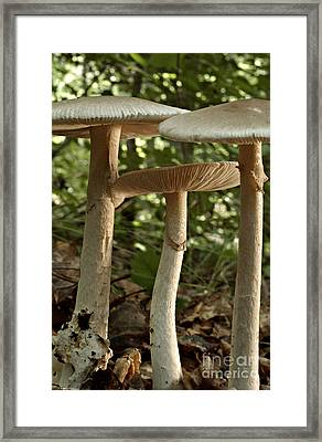 Parasol Mushrooms Macrolepiota Sp Framed Print by Susan Leavines