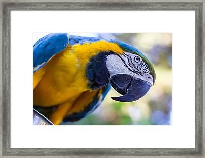 Parrot Framed Print by Randy Bayne