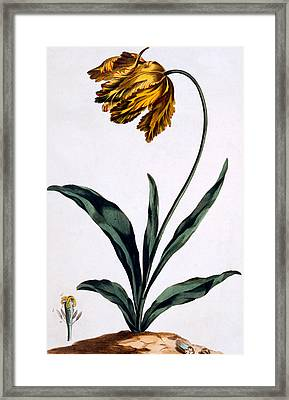 Parrot Tulip Framed Print by John Edwards