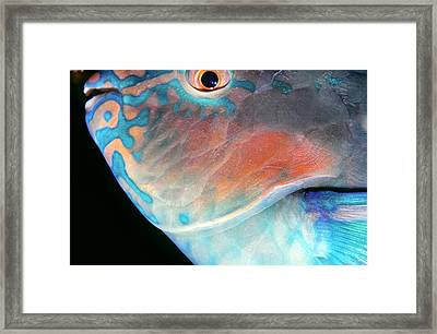 Parrotfish 2 Framed Print by Dawn Eshelman