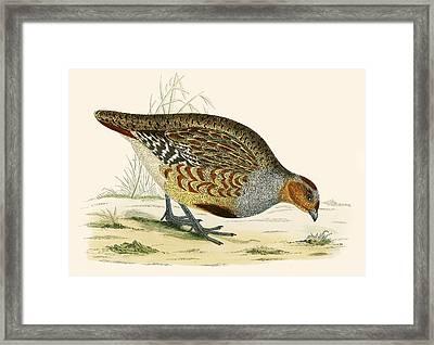 Partridge Framed Print by Beverley R Morris