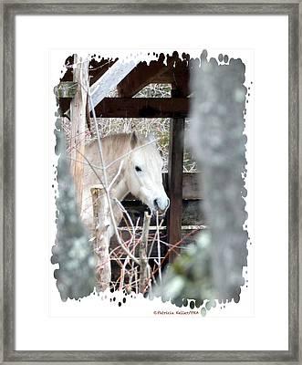 Paso Fino Stallion Close-up Framed Print by Patricia Keller
