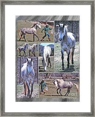 Paso Fino Stallion Horsing Around Framed Print by Patricia Keller