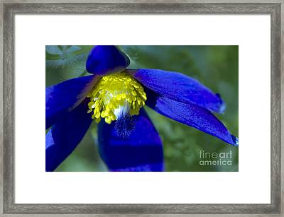 Pasque Flower Blue 3 Framed Print by Sharon Talson