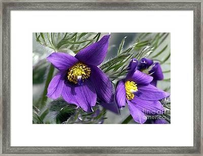 Pasque Flower Framed Print by Sharon Talson
