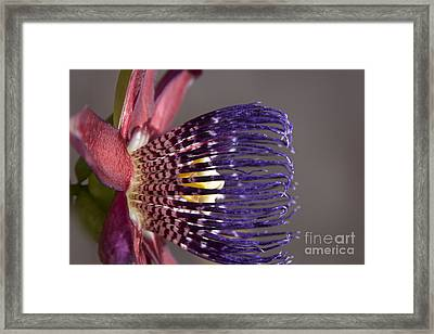 Passiflora Alata - Passion Flower - Ruby Star - Ouvaca Framed Print by Sharon Mau