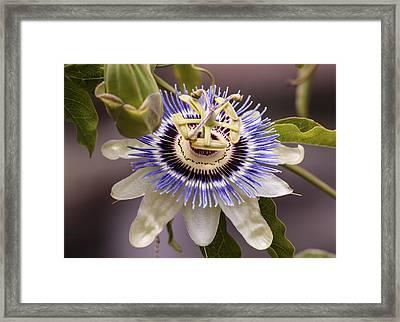 Passiflora Caerulea Framed Print by Caitlyn  Grasso
