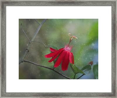 Passiflora Flower Framed Print by Kim Hojnacki