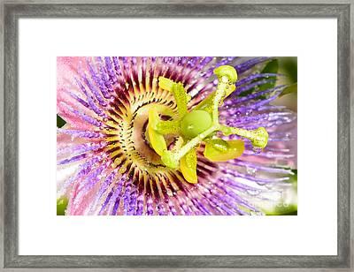 Passiflora The Passion Flower Framed Print by Olga Hamilton