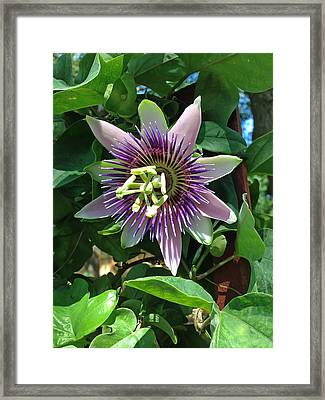 Passion Flower 4 Framed Print by Aimee L Maher Photography and Art Visit ALMGallerydotcom