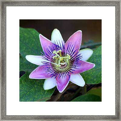 Passion Flower Framed Print by Art Block Collections