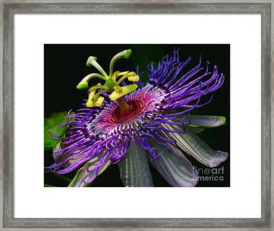 Passion Flower Framed Print by Douglas Stucky