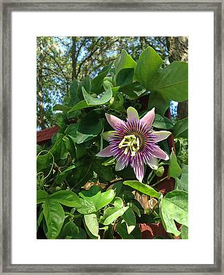 Passion Flower 3 Framed Print by Aimee L Maher Photography and Art Visit ALMGallerydotcom