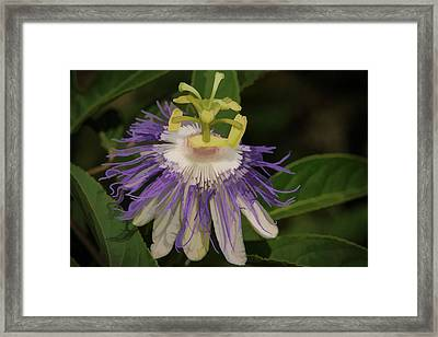 Passionflower Framed Print by Charlie Choc