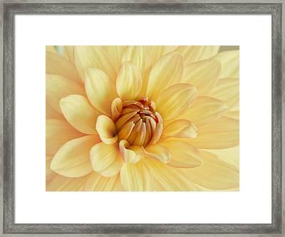 Pastel Dahlia Framed Print by Kim Hojnacki