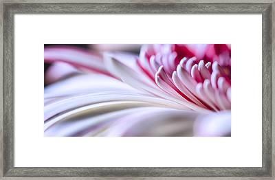 Pastel Gerbera Framed Print by Adam Romanowicz