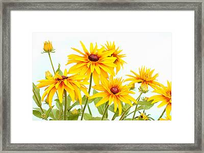 Patch Of Black-eyed Susan Framed Print by Steve Augustin