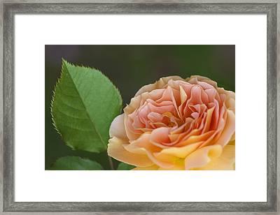 Peace Rose Framed Print by Jane Eleanor Nicholas